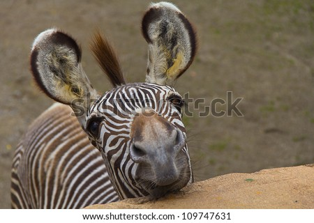 Funny zebra portrait closeup - stock photo