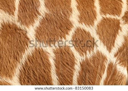 Fur of a giraffe - stock photo