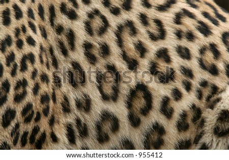 Fur of a Persian leopard (Panthera pardus saxicolor)
