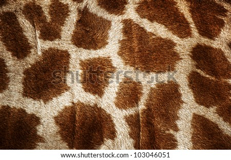 Fur of giraffe useful for background - stock photo