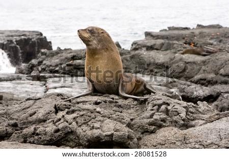 Fur Sea lion on the Galapagos Islands - stock photo