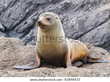 Fur seal New Zealand - stock photo