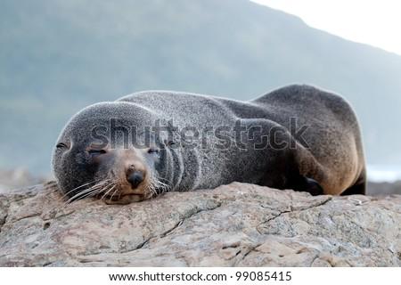 Fur seal New Zealand - stock photo