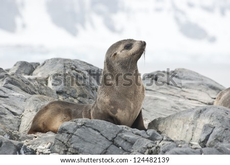 Fur Seal sitting on a rock island Antarctic spring. - stock photo