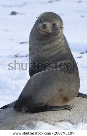 fur seal sitting on a rock on the beach Antarctic Islands - stock photo