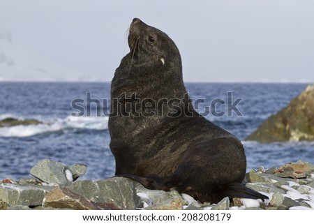 fur seal that sits on a rocky beach Antarctic islands - stock photo