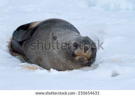 fur seal which lies on the ice of the Antarctic beach autumn day