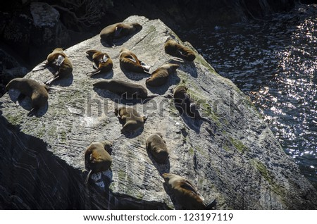Fur seals in Milford Sound, New Zealand - stock photo