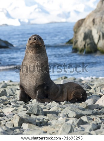 Fur seals on the beach in the Antarctic Ocean in the background of rocks - stock photo
