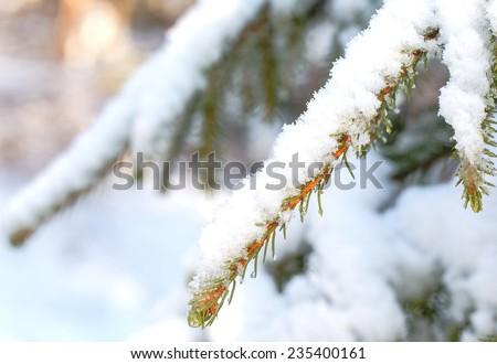 Fur-tree branches - stock photo