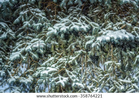 Fur-tree branches covered by hoarfrost - stock photo