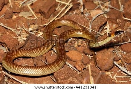 Furina ornata is a species of snakes of the family Elapidae. This species is endemic to Australia. It occurs in Western Australia, South Australia, the Northern Territory and Queensland. - stock photo