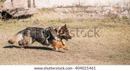 Furious German shepherd dog training. Running dog. Alsatian Wolf Dog. Deutscher, dog - stock photo