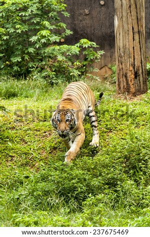 Furious Malayan Tiger chasing to camera - stock photo