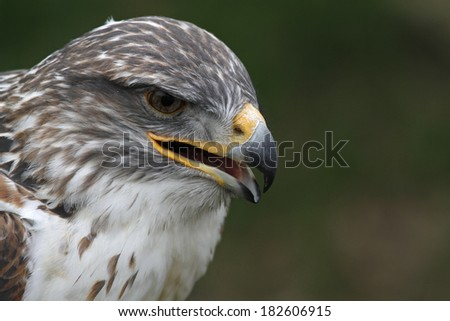 furreginous hawk