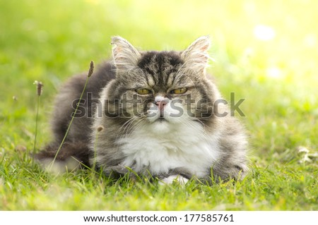 furry cat is resting in green grass on nature in sunlight  - stock photo