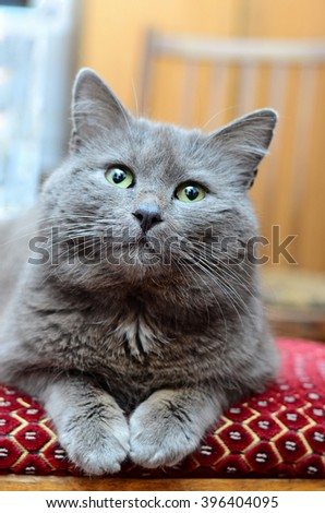 Furry Cat on a Chair - stock photo