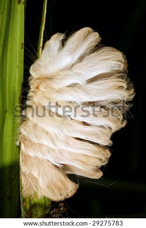 furry caterpillar in cloudforest in Western Ecuador - stock photo
