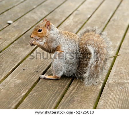 Furry Cute Squirrel Eating Nut on Deck