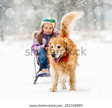 Furry Golden Retriever pulls the sledge with a little girl in the snow - stock photo
