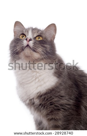 furry grey cat on white background
