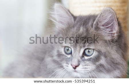 furry little cat of siberian breed, blue version