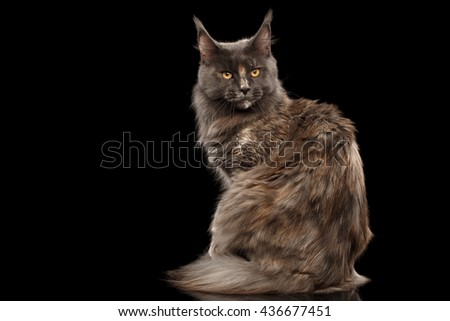 Furry Maine Coon Cat Sitting and turned back Isolated on Black Background - stock photo
