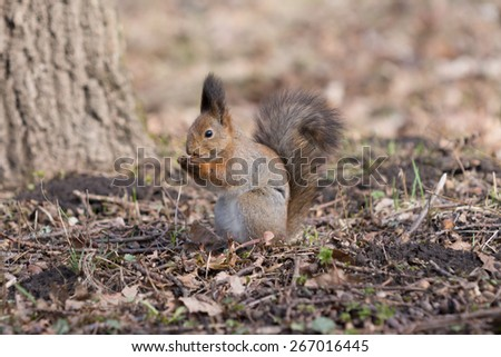 Furry red squirrel stands on paws and eats an acorn in the park. - stock photo