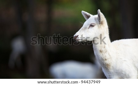 Furry white young fallow dear head with soft dark green focus background - stock photo