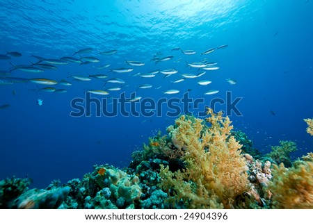 fusilier and coral - stock photo