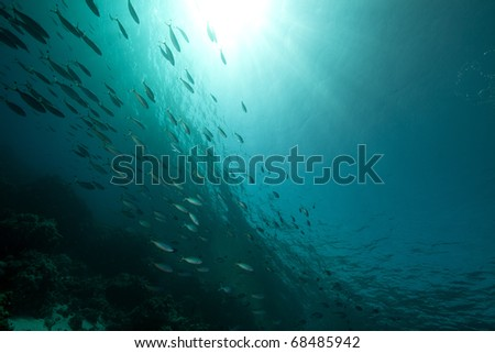 Fusiliers and coral in the Red Sea. - stock photo