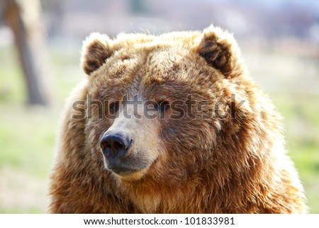 Fuzzy furry head of a seated brown bear - stock photo