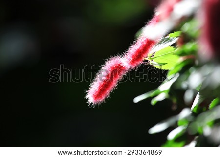 Fuzzy pink chenille plant - stock photo