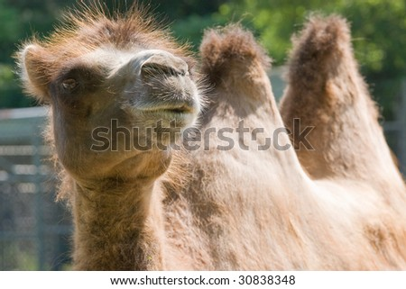 fuzzy two humped camel