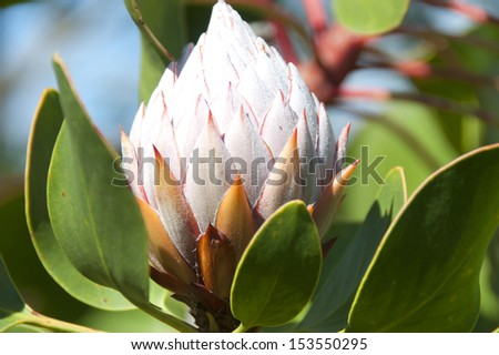 Fynbos � King Protea - stock photo