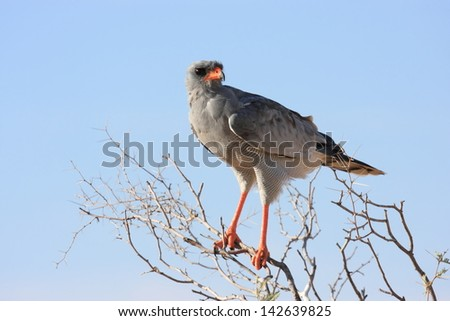 gabar goshawk birds typical African continent savannah lakes rivers wild birds africa kruger national park south africa - stock photo