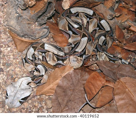Gaboon adder disguise - stock photo