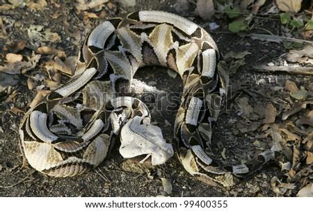 Gaboon Viper (Bitis gabonica), Africa - stock photo