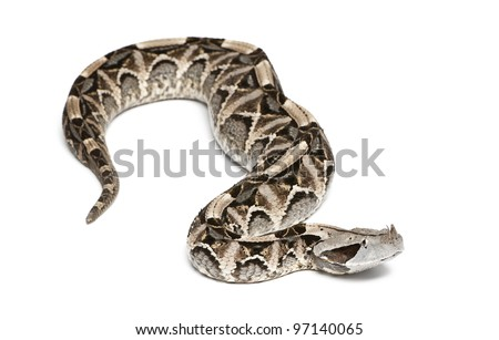 Gaboon viper - Bitis gabonica, poisonous, white background - stock photo