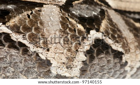 Gaboon viper or  butterfly adder or forest puff adder or  swampjack - Bitis gabonica (poisonous) - stock photo