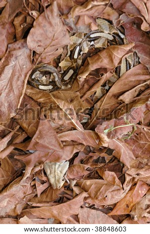 gaboon viper snake lying in wait - stock photo