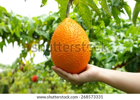 Gac fruit, Baby Jackfruit, Spiny Bitter Gourd, Sweet Grourd or Cochinchin Gourd in hand. - stock photo