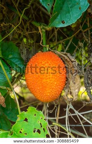 Gac fruit, Bitter Gourd, Sweet Grourd or Cochinchin Gourd in garden - stock photo