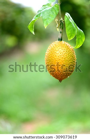Gac fruit or Baby Jackfruit (Cochinchin gourd), Momordica cochinchinensis - stock photo