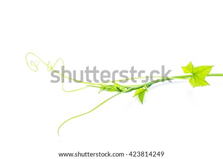 Gac fruit vine and leaf with white background