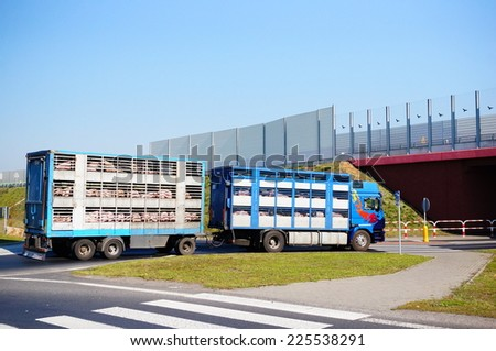 GADKI, POLAND - SEPTEMBER 23, 2014: Truck transporting pigs on a roundabout - stock photo