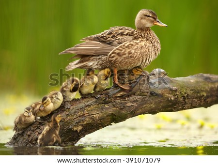 Gadwall duck, Anas strepera. Female with group of chicks in row in lovely pose under her wings on slanting old trunk above yellow flowering water against  yellow flowers and green reeds in background  - stock photo