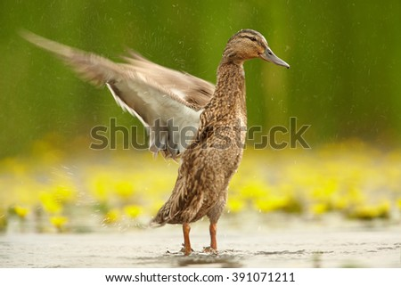 Gadwall duck, Anas strepera. Isolated female waving her wings, standing in calm water with yellow water lilies in blossom against blurred green reeds in background. Spring, Hungary. - stock photo