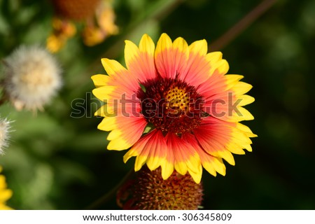 Gaillardia (Blanket Flower) in bloom - stock photo