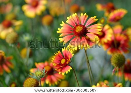Gaillardia or blanket flowers - stock photo